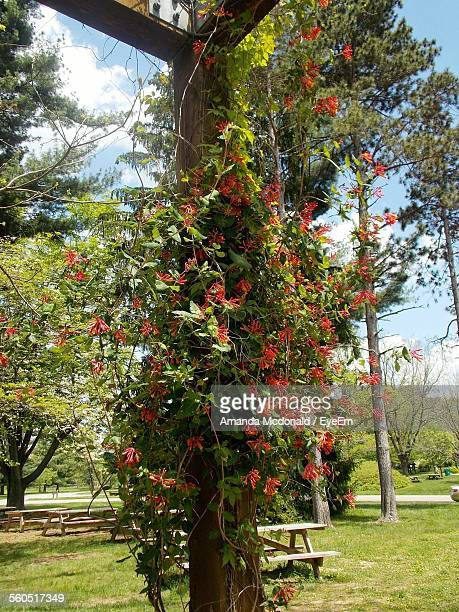 Low Angle View Of Trumpet Honeysuckles Growing On Wooden Column