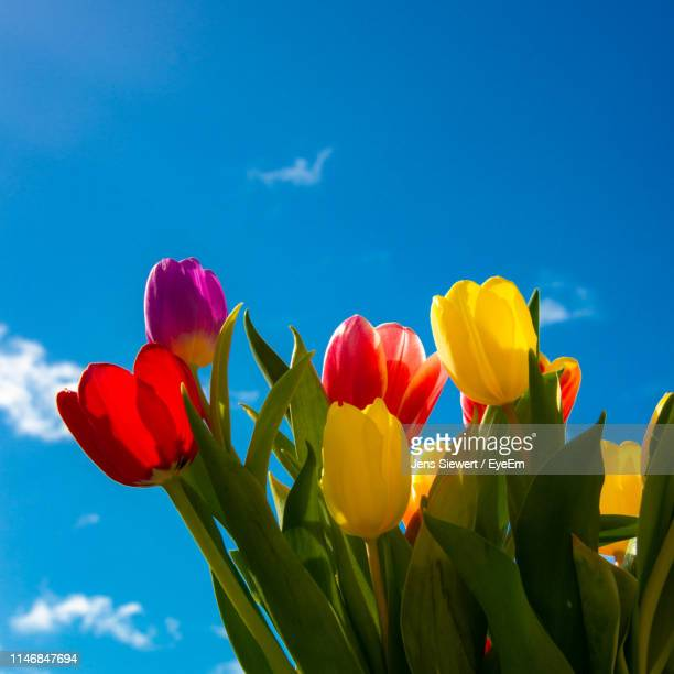 low angle view of tulips against blue sky - jens siewert stock-fotos und bilder
