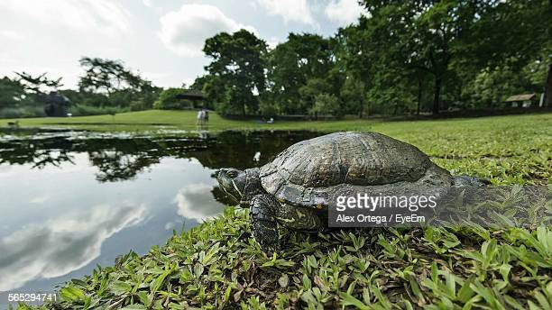 low angle view of turtle near pond in singapore botanic gardens - singapore botanic gardens stock photos and pictures