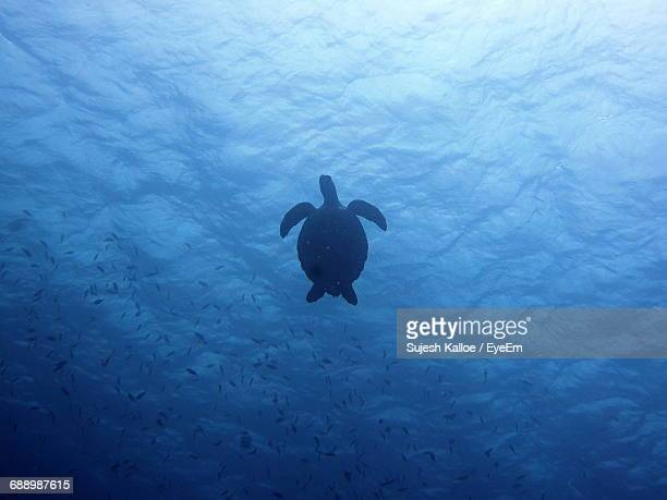 Low Angle View Of Turtle Swimming In Sea