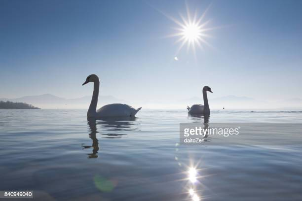 Low angle view of two adult Mute Swans (Cygnus olor) on Lake Chiemsee, Upper Bavaria, Germany