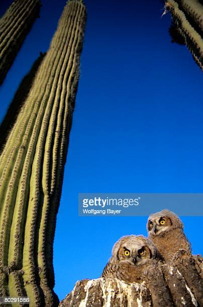 Low angle view of two brown owls sitting next to green cactus plants, brilliant blue sky overhead.