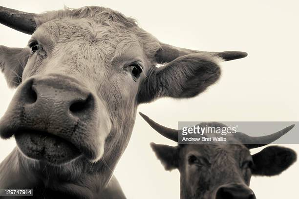Low angle view of two bulls