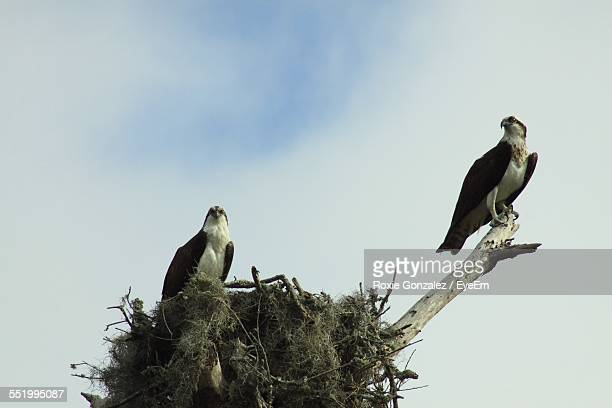Low Angle View Of Two Osprey Perching On Nest