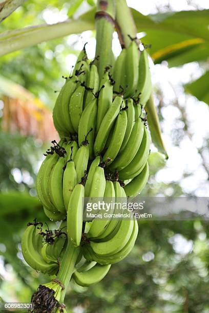 Low Angle View Of Unripe Bananas Growing Outdoors