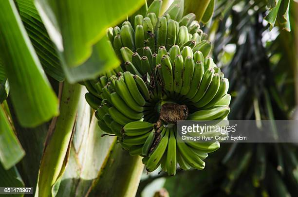 Low Angle View Of Unripe Bananas