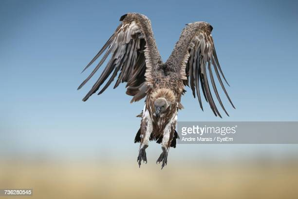Low Angle View Of Vulture Flying Against Clear Sky