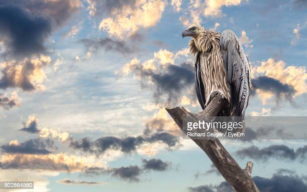 low angle view of vulture perching on bare tree against sky - perching stock photos and pictures