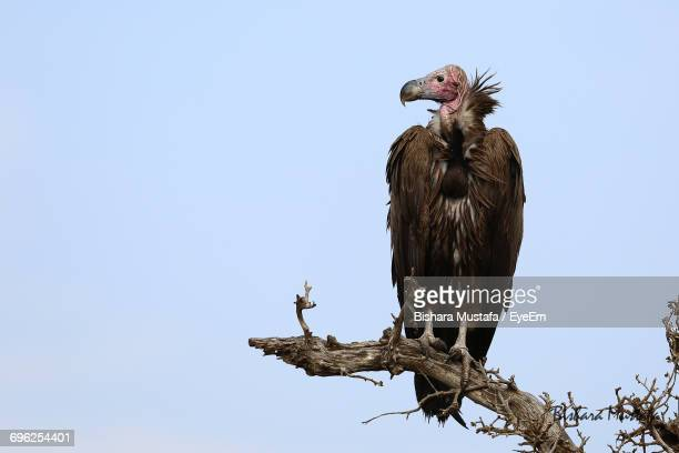 Low Angle View Of Vulture Perching On Tree Against Clear Sky