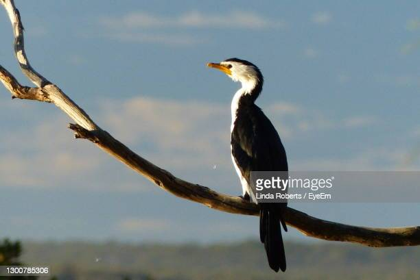 low angle view of water bird perching on tree against sky - batemans bay stock pictures, royalty-free photos & images