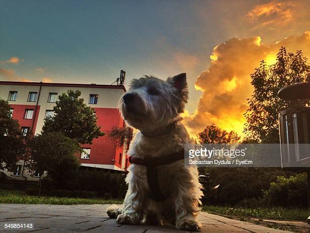 Low Angle View Of West Highland White Terrier Against Cloudy Sky During Sunset