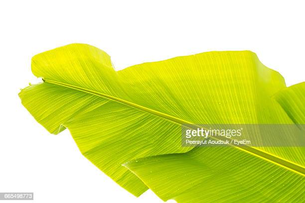 Low Angle View Of Wet Banana Leaf Against Clear Sky