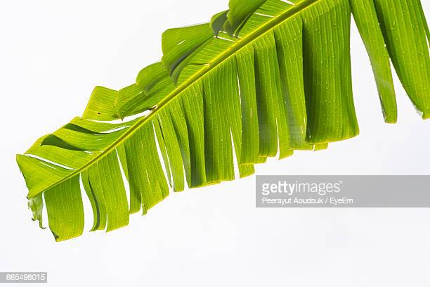 Low Angle View Of Wet Banana Leaves Against Clear Sky