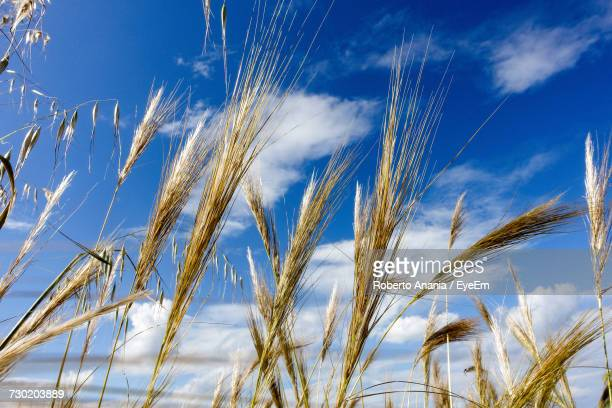 Low Angle View Of Wheat Field Against Blue Sky