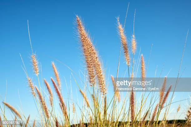 Low Angle View Of Wheat Growing On Field Against Clear Blue Sky