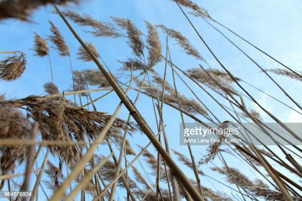 Low Angle View Of Wheat Plants Against Sky