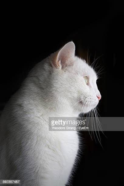 Low Angle View Of White Cat Against Black Background