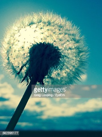 Closeup of white dandelion flower at night stock photo getty images keywords mightylinksfo Images