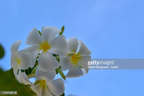 low angle view of white flowering against blue sky - wimol wongsawat stock photos and pictures