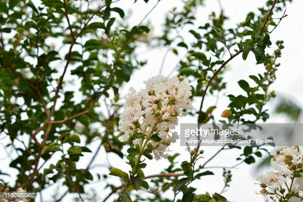 low angle view of white flowering plant - alejandro sandi stock photos and pictures