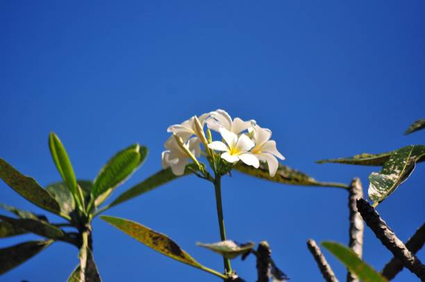 Low Angle View Of White Flowering Plants Against Blue Sky