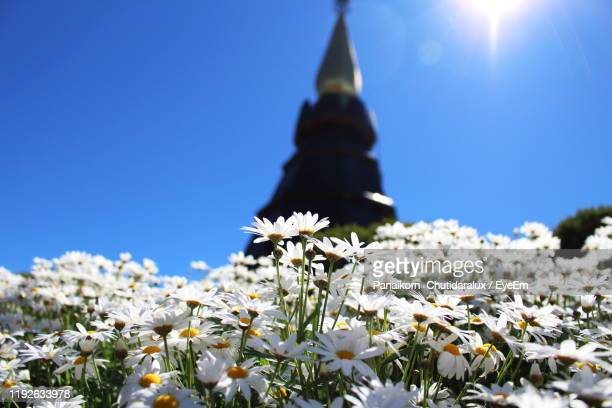 low angle view of white flowering plants against blue sky - panaikorn chutidaralux stock photos and pictures