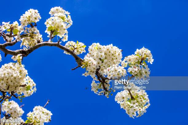 low angle view of white flowers against blue sky - florin seitan stock pictures, royalty-free photos & images