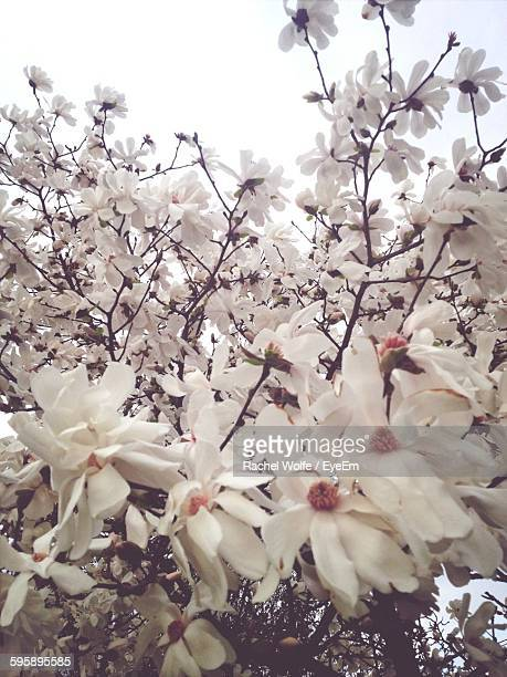 low angle view of white flowers blooming against clear sky - rachel wolfe stock pictures, royalty-free photos & images