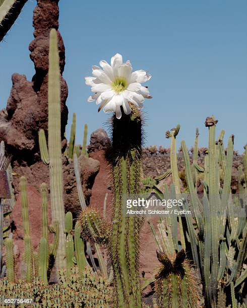 low angle view of white flowers blooming in park - albrecht schlotter foto e immagini stock