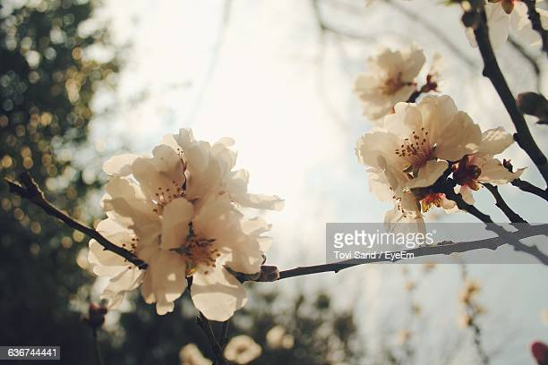 Low Angle View Of White Flowers Blooming On Branch