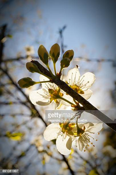 Low Angle View Of White Flowers Blooming On Twig