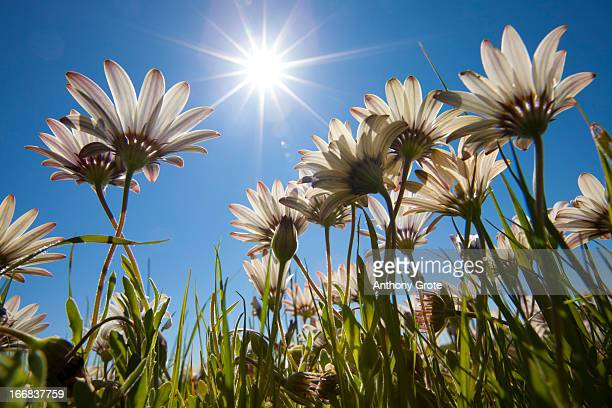 A low angle view of white flowers facing up towards the sun, found in a field near Nieuwoudtville, West Coast, South Africa