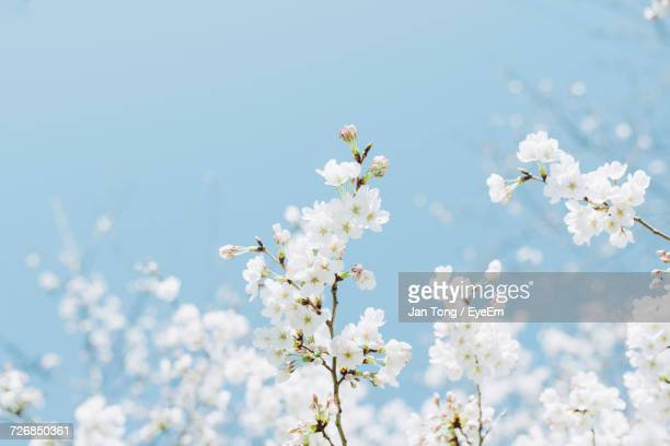 Low Angle View Of White Flowers Growing Against Blue Sky