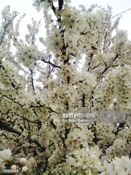 low angle view of white flowers on tree - ella bello stock-fotos und bilder