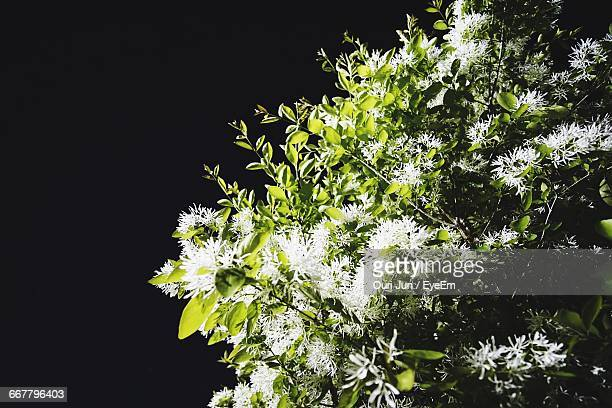 Low Angle View Of White Flowers