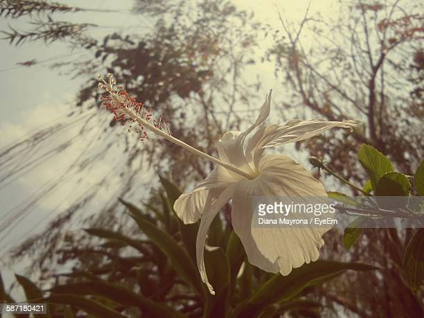 Low Angle View Of White Hibiscus Blooming Against Trees In Garden