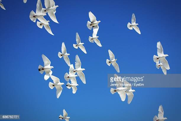 Low Angle View Of White Pigeons Flying Against Clear Blue Sky