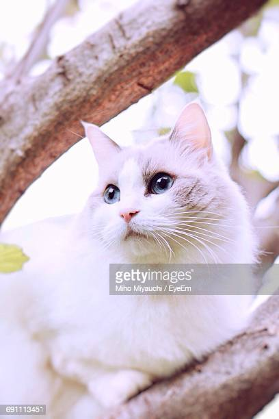 Low Angle View Of White Ragdoll Cat Resting On Tree