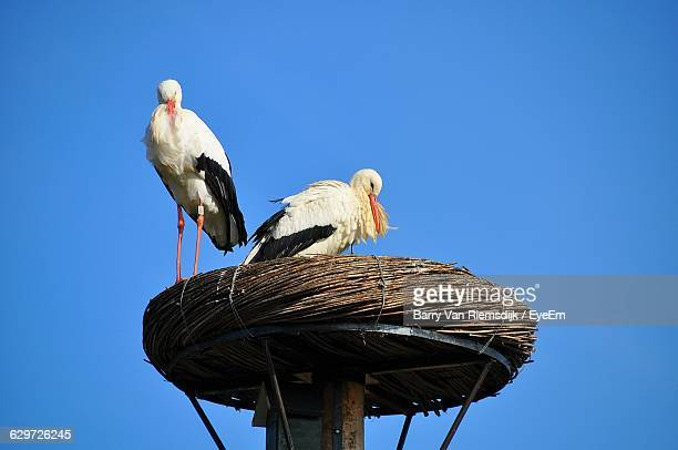 Low Angle View Of White Storks On Nest Against Clear Blue Sky