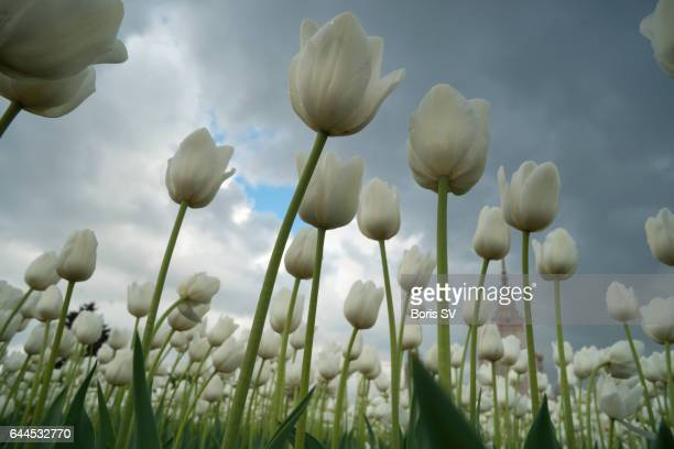 Low angle view of White Tulip Field
