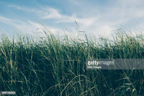 Low angle view of windswept sea grasses, Long Beach Peninsula