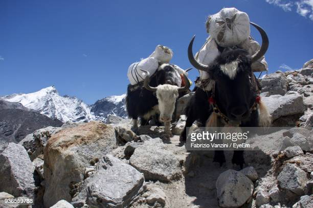 Low Angle View Of Yaks Carrying Luggage While Walking On Rocks Against Sky