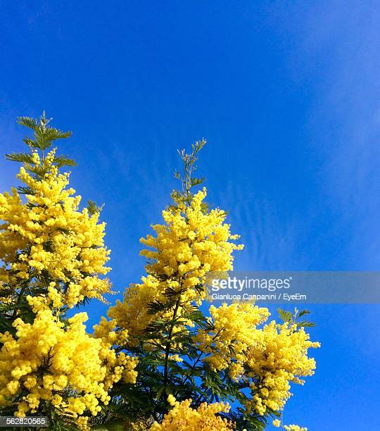 low angle view of yellow acacia flowers on branch - mimosa stock pictures, royalty-free photos & images