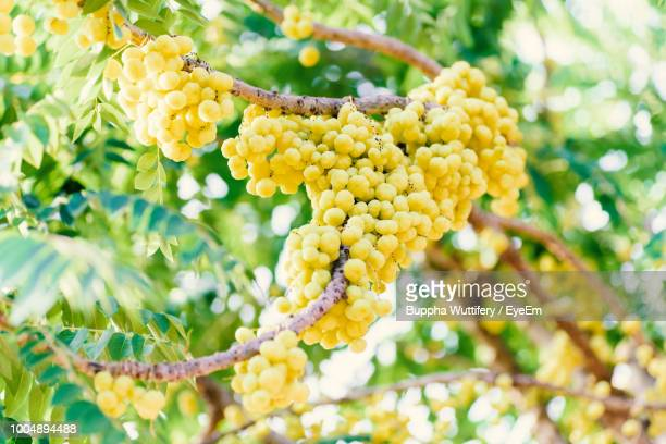 Low Angle View Of Yellow Berries On Tree