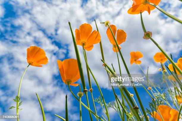 Low Angle View Of Yellow Crocus Blooming On Field Against Sky