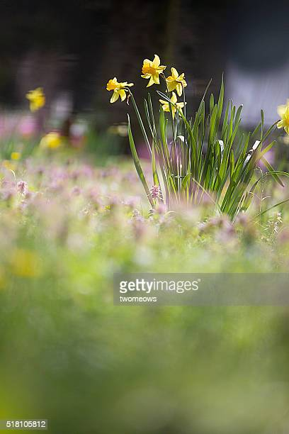 Low angle view of yellow daffodil in garden. Text space image.
