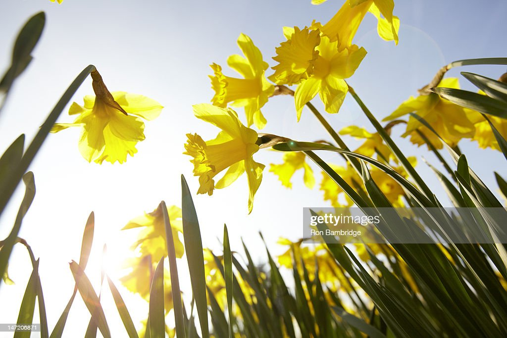 Low angle view of yellow daffodils against sunny blue sky : Stock Photo