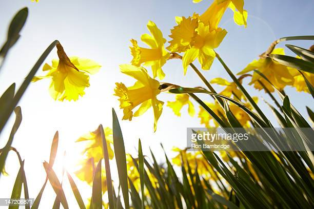 low angle view of yellow daffodils against sunny blue sky - daffodils stock photos and pictures