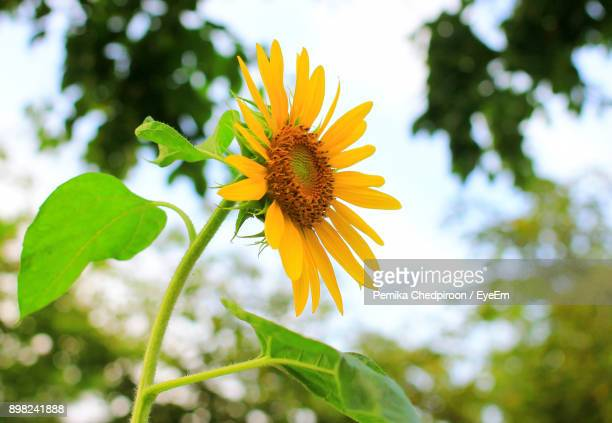 Low Angle View Of Yellow Flower Blooming Against Sky