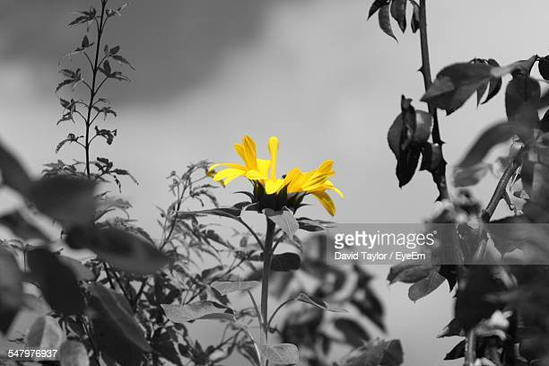 Low Angle View Of Yellow Flower Blooming In Park